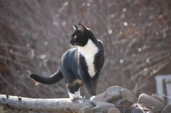 Betty the mischievous black and white cat spies a bird in the field. Royalty Free Stock Image
