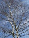 Betula - árbol de abedul en primavera Fotos de archivo