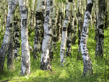 Betula Δάσος σημύδων το καλοκαίρι Στοκ Φωτογραφία