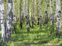 Betula Δάσος σημύδων το καλοκαίρι Στοκ Εικόνες