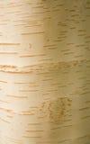 betula στοκ φωτογραφία με δικαίωμα ελεύθερης χρήσης