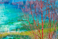 Betula albosinensis with colorful lake background Royalty Free Stock Photo