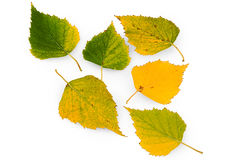 Betula, birch Stock Photography