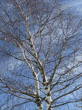Betula - Birch tree in spring Stock Photos
