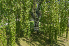 Betula, birch tree, Weeping Silver Birch Trees. Betula -Weeping Silver Birch Trees in late spring time with vivid green color leaves in direct sun light royalty free stock photos