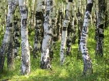 Betula Bosque del abedul en el verano Fotografía de archivo