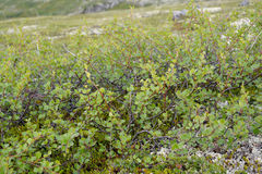 Betula nana Dwarfish L della betulla nel Nord di Kola Peninsula fotografia stock