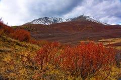 Betula nana in montagne Altai nella caduta Fotografie Stock Libere da Diritti