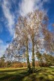 Betula Pendula在没有叶子的秋天 库存图片