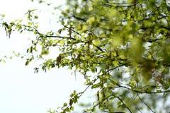 Betula Pendula,一般叫作白桦树或有疣的桦树,在天空背景分支 免版税库存图片