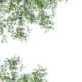 Betula pendula Photo libre de droits