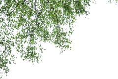Betula pendula Photos libres de droits
