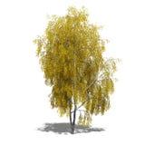 Betula pendula (autumn) Royalty Free Stock Photography