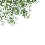 Betula pendula Stock Photo