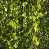 Betula Pendula, conocido comúnmente como el abedul de plata o abedul verrugoso, verde sale del fondo Fotografía de archivo libre de regalías