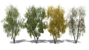 Betula pendula (Four Seasons) Stock Photography