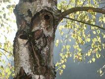 Betula pendula Royalty Free Stock Images