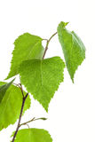 Betula pendula Royalty Free Stock Image
