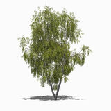 Betula pendula (summer) Royalty Free Stock Image