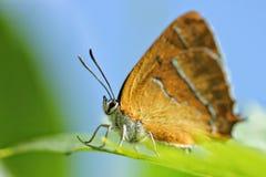 Betulae alaranjados do thecla da borboleta fotografia de stock royalty free