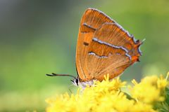 Betulae alaranjados do thecla da borboleta imagem de stock royalty free