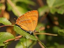 Betulae Thecla бабочки Стоковое Изображение