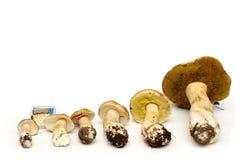 Betulicolus подосиновика гриба белой березы по сравнению с matchbox Стоковая Фотография RF