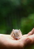 Betulina de Sicista del ratón del abedul del bosque pequeño Fotografía de archivo libre de regalías