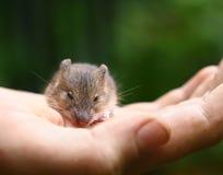 Betulina de Sicista del ratón del abedul del bosque pequeño Imagen de archivo libre de regalías