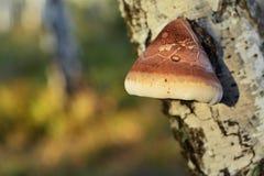 Betulinus de Piptoporus Imagen de archivo libre de regalías