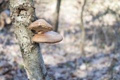 Betulinus del abedul Polypore - de Piptoporus en árbol de abedul - Betula Pendula Imágenes de archivo libres de regalías