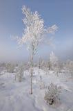 Betulla-albero in inverno Fotografia Stock
