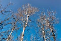 Betulla alta e sfrondata Fotografia Stock Libera da Diritti