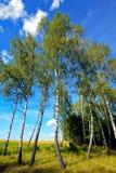 Betulla alta e sottile sotto un cielo blu sui precedenti di ampio campo infinito Fotografia Stock Libera da Diritti