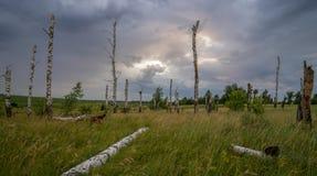 Betulla asciutta su un fondo dei temporali fotografia stock