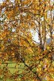 Betulla in autunno e cielo blu Fotografia Stock
