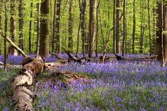 Betulla in azzurri Fotografia Stock Libera da Diritti
