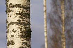 Betulla, Betula Pendula Fotografia Stock Libera da Diritti