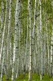 Betulla bianca Fotografie Stock