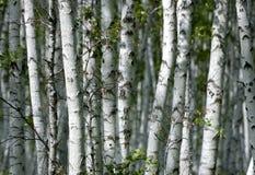 Betulla bianca Immagine Stock