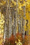 Betulla bianca alta Fotografie Stock Libere da Diritti