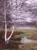 Betulla bianca nana Stock Image