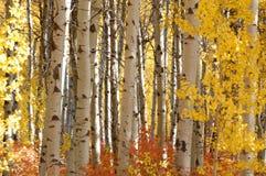 Betulla bianca nella gloria di autunno immagini stock