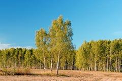 Betulla con la foresta su cielo blu fotografia stock