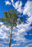 Betulla con le foglie verdi ed il cielo piacevole della nuvola Immagini Stock Libere da Diritti