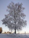 Betulla congelata Fotografia Stock