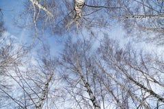 Betulla contro il cielo blu fotografie stock libere da diritti