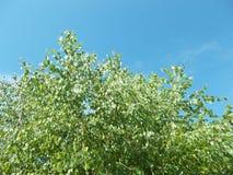 Betulla contro il cielo blu fotografie stock