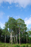 Betulla d'argento Fotografia Stock