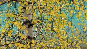 Betulla d'argento Fotografia Stock Libera da Diritti